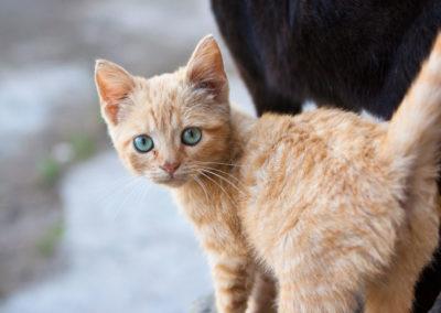 Gato rural